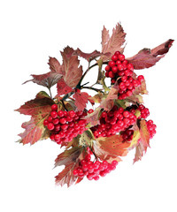 Bright red clusters of berries of Viburnum on the branches