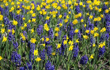 Ornamental garden with daffodils and hyacinths
