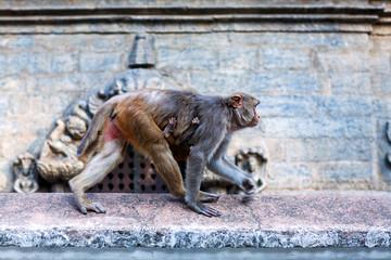 Rhesus makaque monkeys