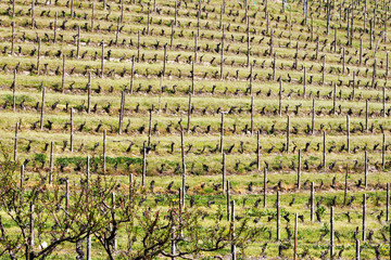 Hilly vineyard