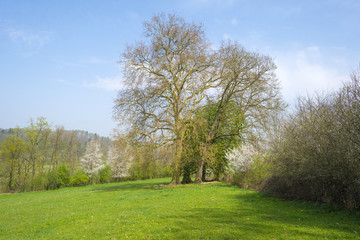 Trees along a sunny meadow in spring