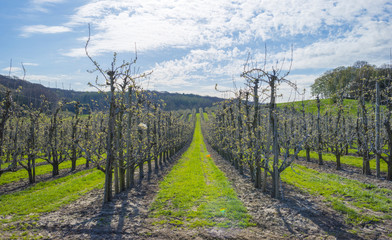 Orchard with fruit trees in bud in spring