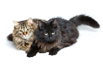 Two cute fluffy cats isolated on white
