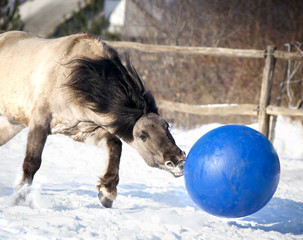 wild grulla horse in winter playing the ball