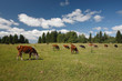Herd of cows eating green grass on the field with forest