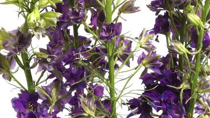 Purple Larkspur (Delphinium sp.) Flower Time-lapse