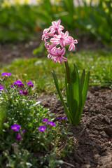 Pink hyacinth.
