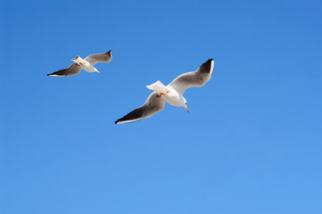 Pair of flying  avay seagulls in blue sky.