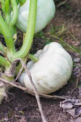 Growing patty pan squash
