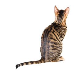 Toyger cat breed sits with his back