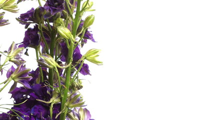 Purple Larkspur (Delphinium sp.) Flower Time-lapse