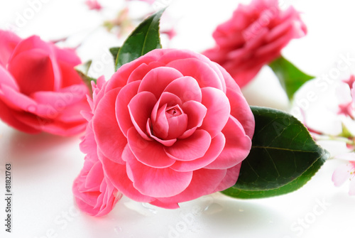 Foto op Canvas Kersen 椿と桜