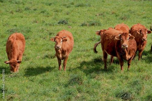 Papiers peints Vache Troupeau de vaches.