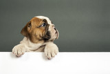 English bulldog puppy.