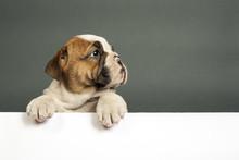 "Постер, картина, фотообои ""English  bulldog puppy."""