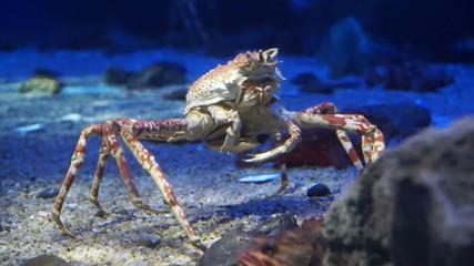 King Crab at aquarium ocean dark blue bottom fighting