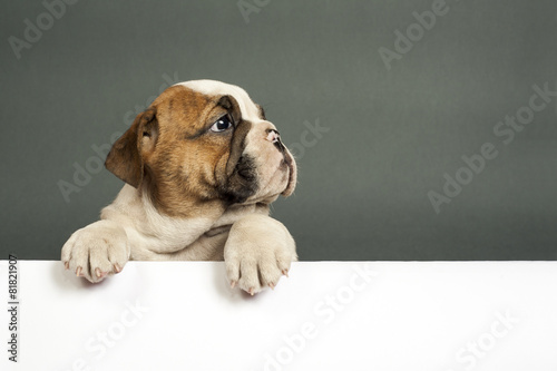 In de dag Hond English bulldog puppy.
