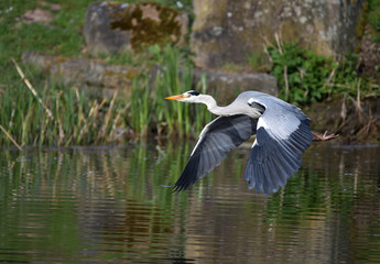 Graureiher fliegt am See