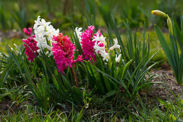 Hyacinths growing on the flowerbed.