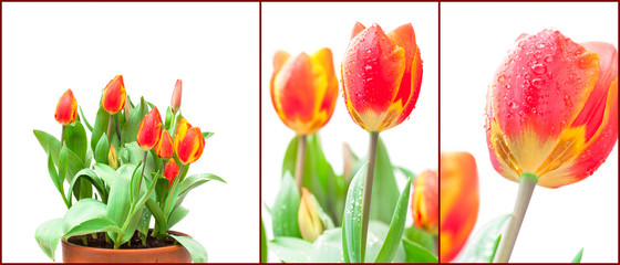 set of isolated growing red tulips