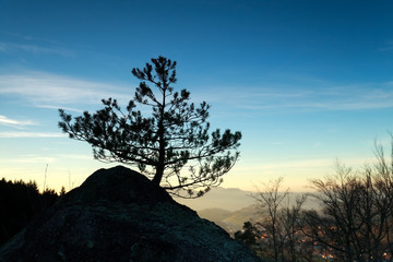 pine tree on rock at sunset