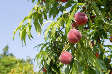 Ripe Nectarines in tree