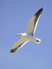 Grey-headed Gull Flying