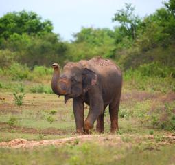 wild indian elephant raises the trunk