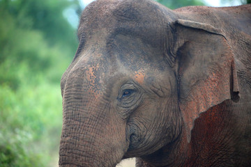 portrait of indian elephant in jungle