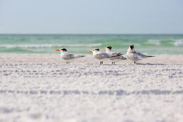 Royal terns sea birds stand on Siesta Key beach in Florida