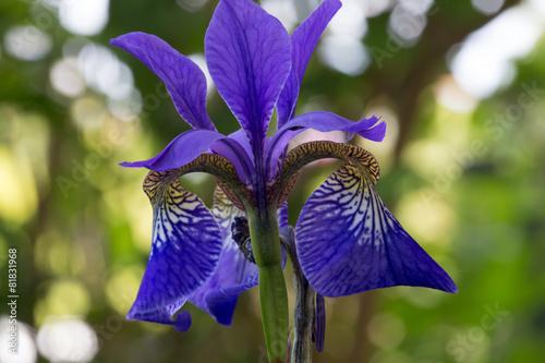 Foto op Aluminium Iris Lilie