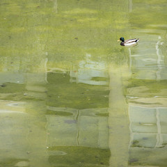 Lonely duck on a green pond