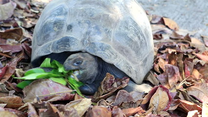 Aldabra giant tortoise eats leaves.