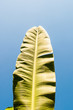 Banana leaves with blue sky background. - 81846167
