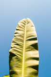Banana leaves with blue sky background.