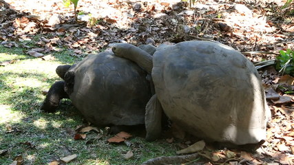 Male courts the female Aldabra giant tortoise