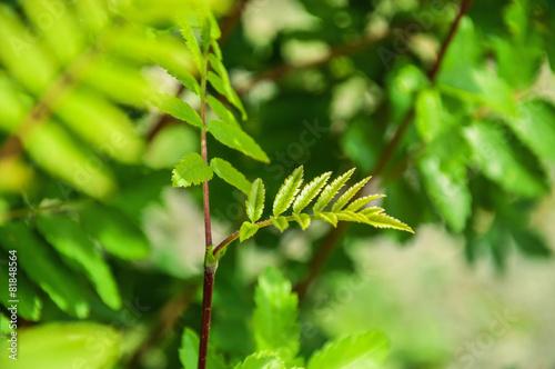 Green rowan tree in a forest