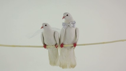 wedding white pigeons with bowtie and a veil
