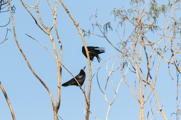 Pareja de Grajas. Corvus frugilegus.