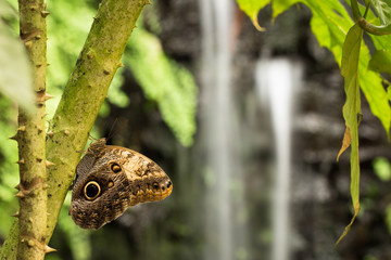Owl Butterfly at the Waterfall