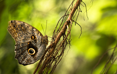 Owl Butterfly in the green
