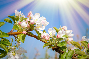 Sonne auf Apfelblüte