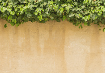 Ivy on the wall - background