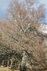 Roble. Quercus.