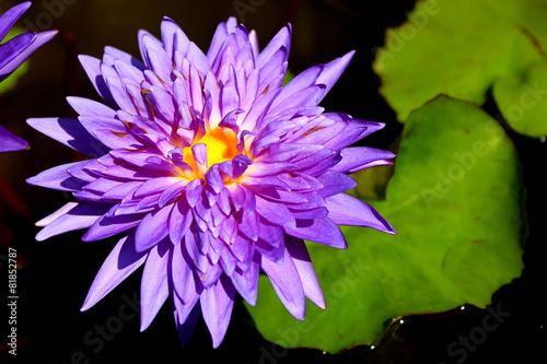 Aluminium Water planten violet lotus flower