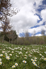 Green field with blossom white daisies