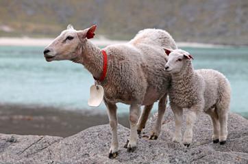 Sheep and lamb in coast