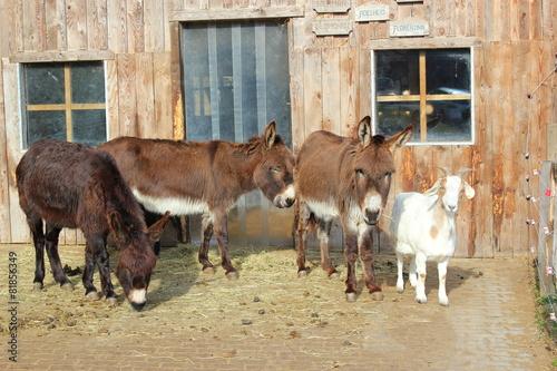Fotobehang Ezel Esel und Ziege auf einem Bauernhof vor einem Stall