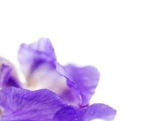 artistic detail of Iris flower over white