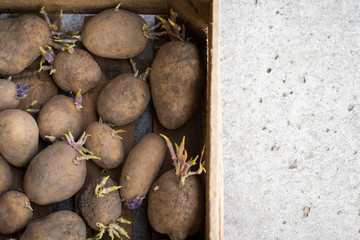 Sprouting organic potatoes ready for planting